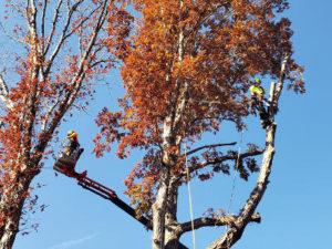 Removing trees via crane and climber
